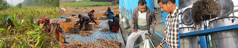 Oil-extraction-from-turmeric-leaves